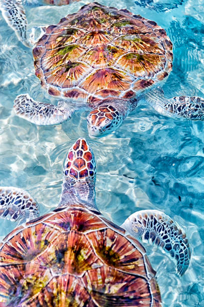 Green sea turtles (Chelonia mydas), Akumal, Yucatan Peninsula, Mexico:スマホ壁紙(壁紙.com)