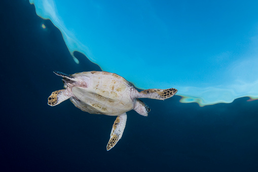 Green Turtle「Green sea turtle in Komodo National Park, Indonesia.」:スマホ壁紙(12)