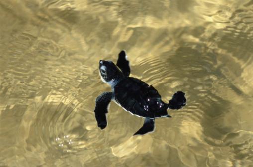Green Turtle「Green sea turtle hatchling (Chelonia mydas)」:スマホ壁紙(18)