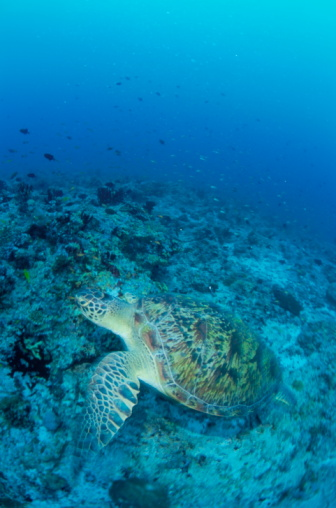 Green Turtle「Green sea turtle, Maldive Islands」:スマホ壁紙(12)