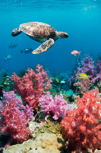 Soft Coral「Green sea turtle over soft corals」:スマホ壁紙(13)