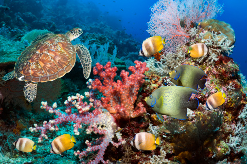 Soft Coral「Green sea turtle over coral reef」:スマホ壁紙(14)