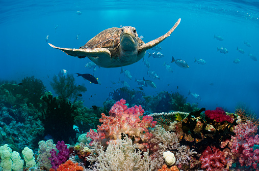 Soft Coral「Green sea turtle over coral reef」:スマホ壁紙(4)