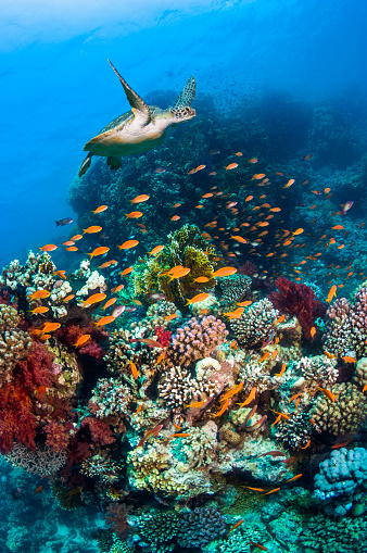Ecosystem「Green sea turtle over coral reef.」:スマホ壁紙(2)