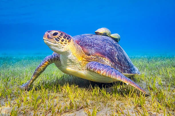 Green sea turtle near Marsa Alam , Egypt:スマホ壁紙(壁紙.com)