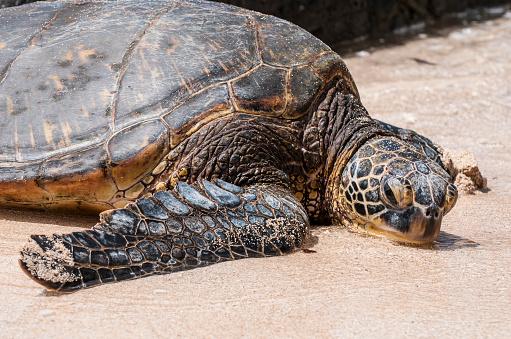 Green Turtle「Green sea turtle (Chelonia mydas) on Laniakea Beach, North Shore, Oahu, Hawaii, USA」:スマホ壁紙(8)
