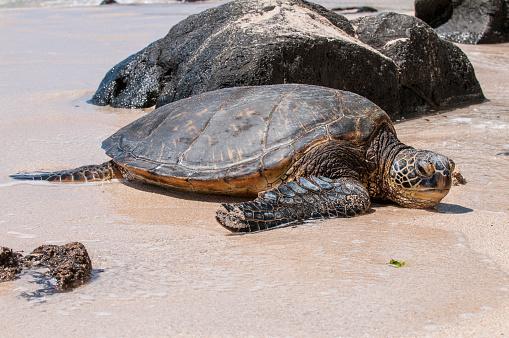 Green Turtle「Green sea turtle (Chelonia mydas) on Laniakea Beach, North Shore, Oahu, Hawaii, USA」:スマホ壁紙(9)