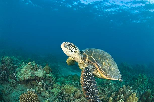 Green Sea Turtle, Turtle Cleaning Station, South Maui, Hawaii, USA:スマホ壁紙(壁紙.com)