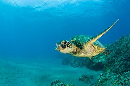 Green Turtle「Green Sea Turtle swimming (Chelonia mydas), Marshall Islands, Pacific Ocean」:スマホ壁紙(5)