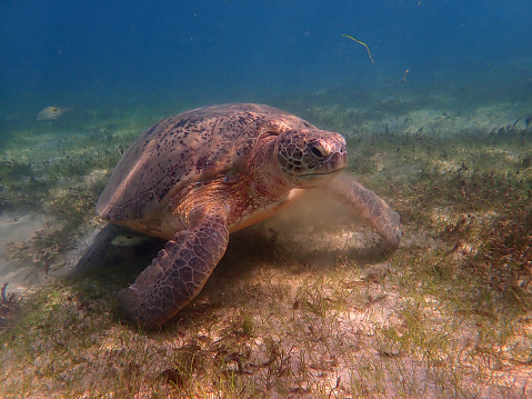 Green Turtle「Green Sea Turtle」:スマホ壁紙(16)