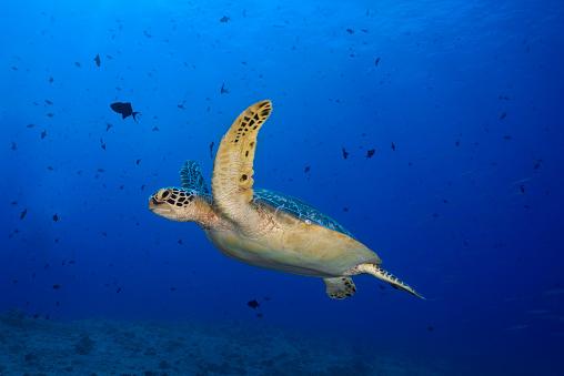 Green Turtle「Green Sea Turtle (Chelonia mydas)」:スマホ壁紙(7)
