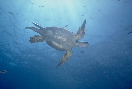 Green Turtle「Green Sea Turtle」:スマホ壁紙(15)