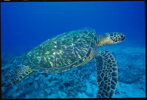 Green Turtle「Green Sea Turtle」:スマホ壁紙(13)