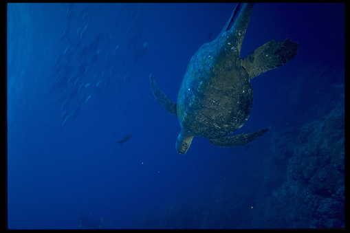 Green Turtle「Green Sea Turtle」:スマホ壁紙(15)