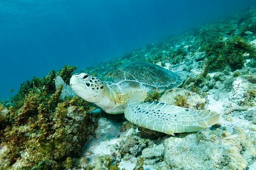 Green Turtle「Green sea turtle」:スマホ壁紙(11)
