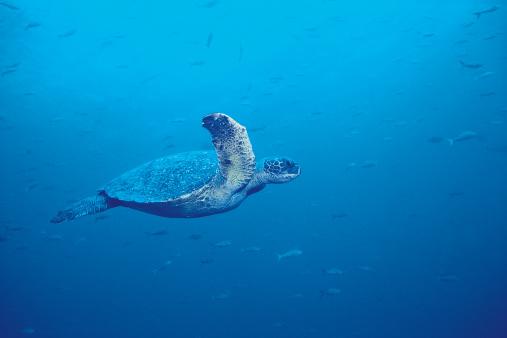 Green Turtle「Green Sea Turtle」:スマホ壁紙(2)