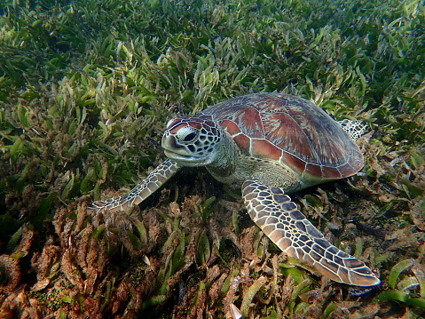 Green Turtle「Green Sea Turtle」:スマホ壁紙(7)
