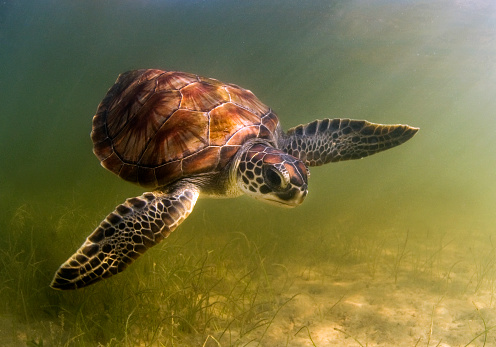 Green Turtle「Green Sea Turtle」:スマホ壁紙(5)