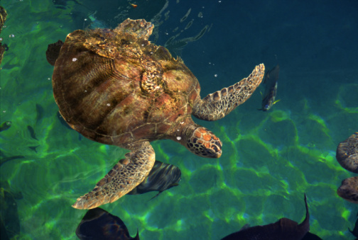Green Turtle「Green sea turtle」:スマホ壁紙(3)