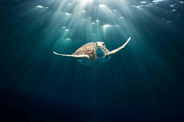 Green sea turtle:スマホ壁紙(壁紙.com)