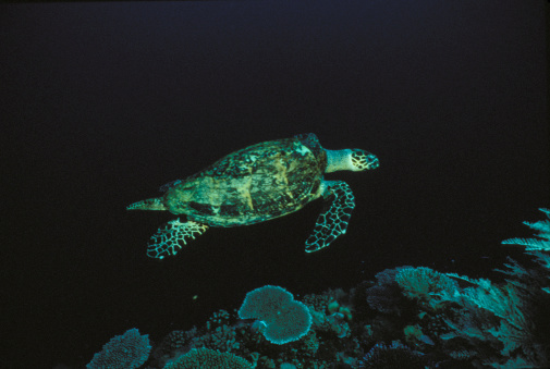 Green Turtle「Green sea turtle swimming」:スマホ壁紙(11)