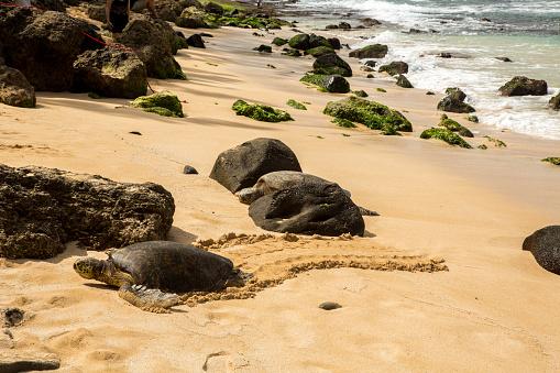 波「green sea turtle moving on shore to lay eggs, North shoe of the island of Oahu, HI」:スマホ壁紙(14)