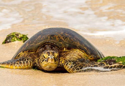 波「green sea turtle moving on shore to lay eggs, North shoe of the island of Oahu, HI」:スマホ壁紙(13)