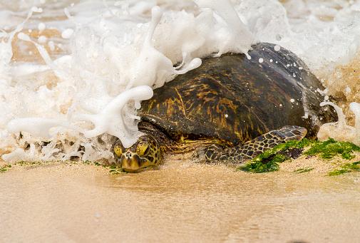 波「green sea turtle moving on shore to lay eggs, North shoe of the island of Oahu, HI」:スマホ壁紙(15)