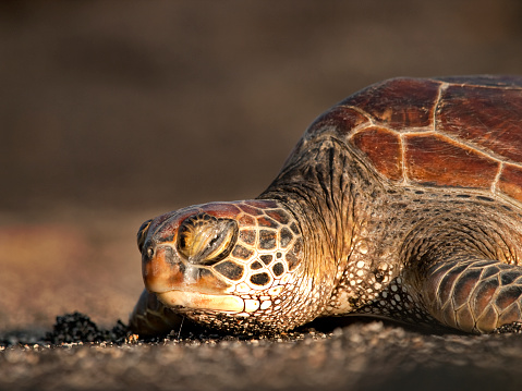 Green Turtle「Green sea turtle waking up」:スマホ壁紙(14)