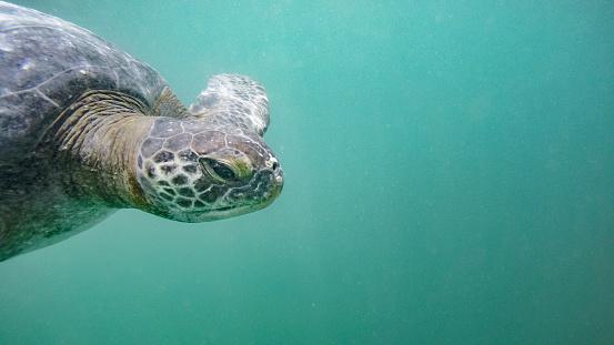 Green Turtle「Green Sea Turtle Under The Water In Peru」:スマホ壁紙(14)