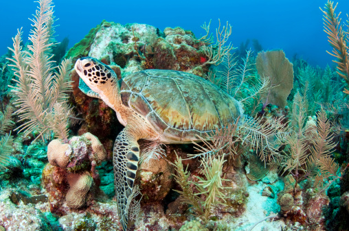 Green Turtle「Green sea turtle on Caribbean reef.」:スマホ壁紙(0)