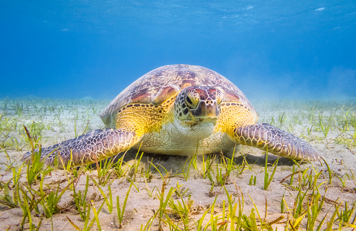 Green Turtle「Green Sea Turtle grazing on seagrass bed near Marsa Alam」:スマホ壁紙(3)
