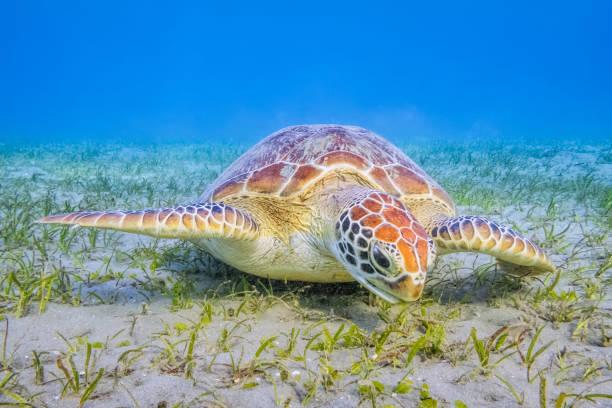 Green Sea Turtle grazing on seagrass beds in Red Sea / Marsa Alam:スマホ壁紙(壁紙.com)