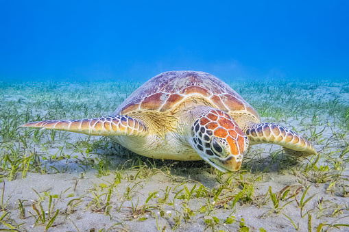 Remora Fish「Green Sea Turtle grazing on seagrass beds in Red Sea / Marsa Alam」:スマホ壁紙(2)