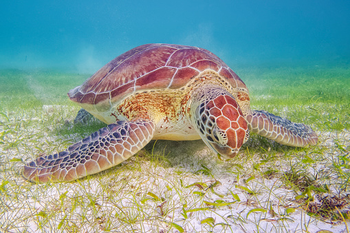 Green Turtle「Green Sea Turtle grazing on seagrass beds in Caribbean Sea near Akumal Bay - Riviera Maya / Cozumel , Quintana Roo , Mexico」:スマホ壁紙(16)
