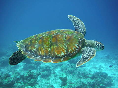 Green Turtle「Green sea turtle swimming above coral reef, Maldives.」:スマホ壁紙(18)