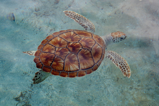 Cayman Islands「Green Sea Turtle, Grand Cayman」:スマホ壁紙(13)