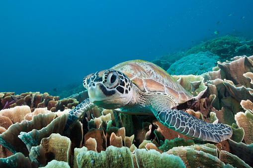 Green Turtle「Green Sea Turtle, Komodo National Park」:スマホ壁紙(7)