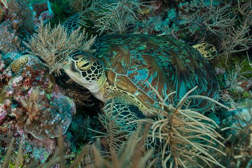 Green Turtle「Green Sea Turtle or Hawksbill Sea Turtle - Palau, Micronesia」:スマホ壁紙(17)