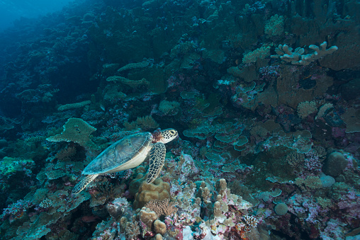 Green Turtle「Green Sea Turtle or Hawksbill Sea Turtle - Palau」:スマホ壁紙(11)