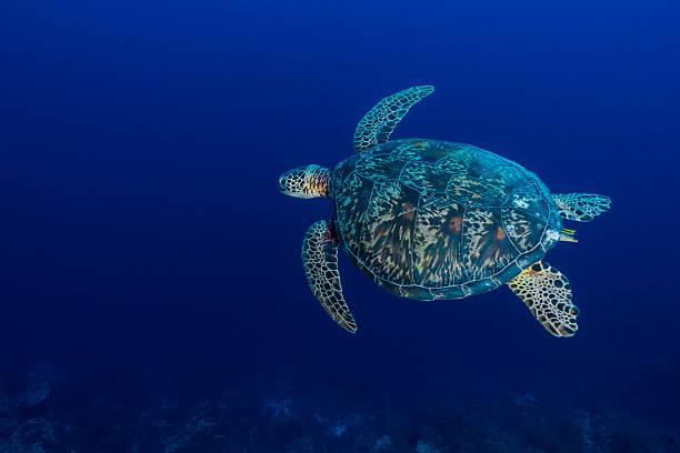 Green Sea Turtle or Hawksbill Sea Turtle - Palau:スマホ壁紙(壁紙.com)