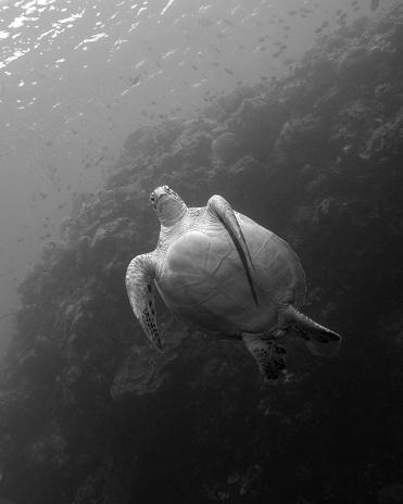 Glider「A green sea turtle (Chelonia mydas) at the Bunaken National Marine Park in Indonesia.」:スマホ壁紙(4)