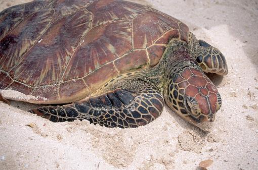 Green Turtle「Green Sea Turtle in Fiji」:スマホ壁紙(9)