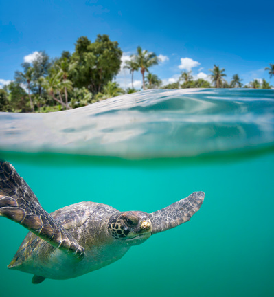 Water Surface「Green Sea Turtle In Tropical Waters」:スマホ壁紙(6)