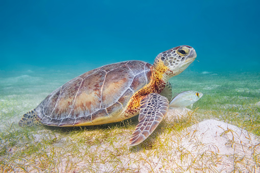 Mayan Riviera「Green Sea Turtle in Caribbean Sea near Akumal Bay - Riviera Maya / Cozumel , Quintana Roo , Mexico」:スマホ壁紙(14)