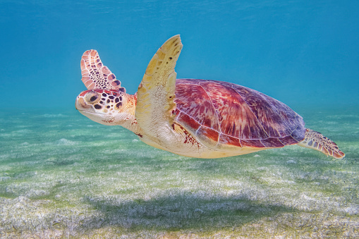 Sea Turtle「Green Sea Turtle in Caribbean Sea near Akumal Bay - Riviera Maya / Cozumel , Quintana Roo , Mexico」:スマホ壁紙(8)