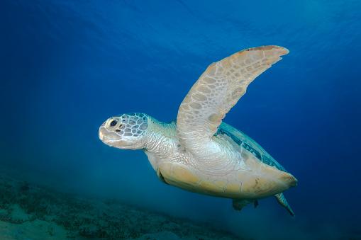 Green Turtle「Green sea turtle in the Red Sea, Egypt.」:スマホ壁紙(5)