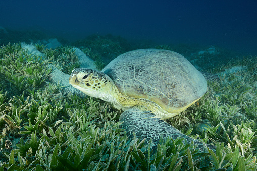 Green Turtle「Green sea turtle, Red Sea, Egypt.」:スマホ壁紙(10)