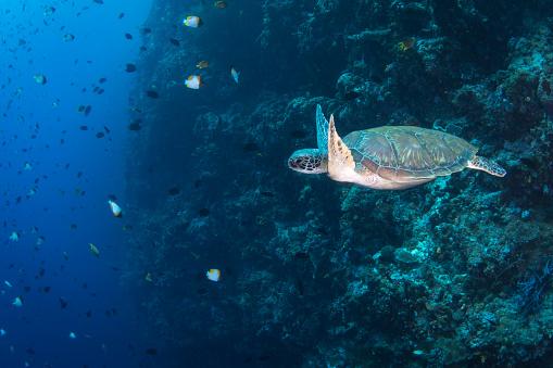 Green Turtle「Green sea turtle on the reef in North Sulawesi, Indonesia.」:スマホ壁紙(15)