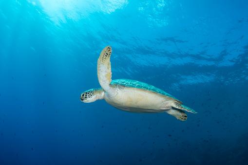 Green Turtle「Green sea turtle on the reef in North Sulawesi, Indonesia.」:スマホ壁紙(14)